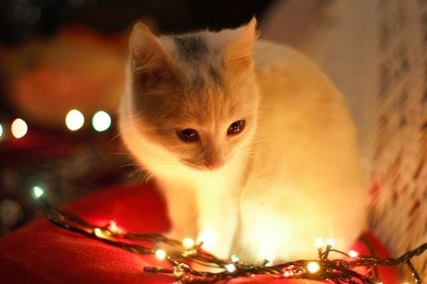 a kitten looking at Christmas lights