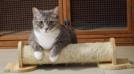 a grey cat with white paws standing on a scratching post